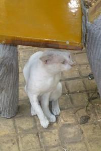 Random Cambodian Cat