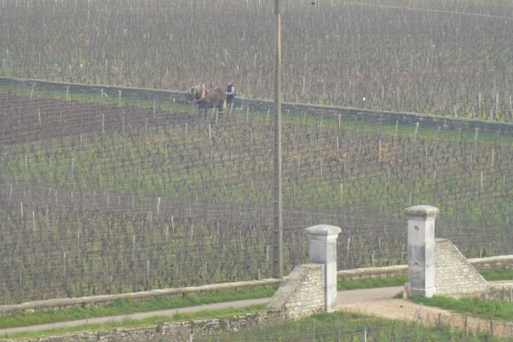 Beautiful Vineyard Views - Burgundy.  Horse drawn vine work.
