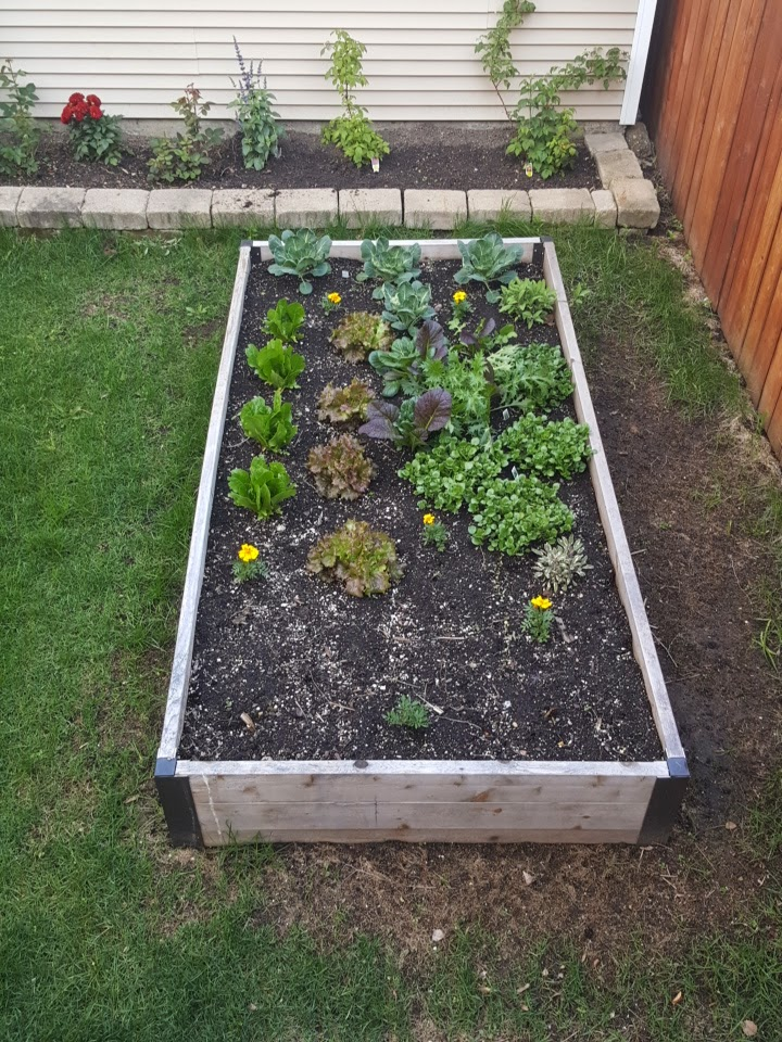Raised Beds with Round One of Lettuce