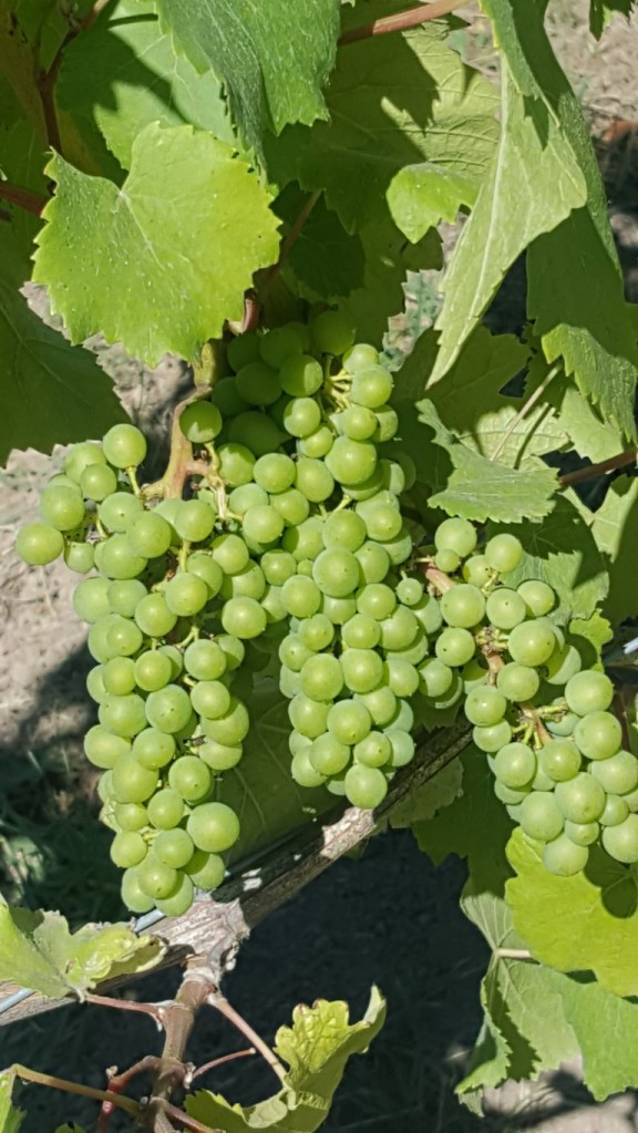 Grapes at Coeur de Terre are coming along nicely. Harvest should be in mid-September.